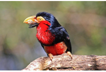 Bearded Barbet at Birds of Eden