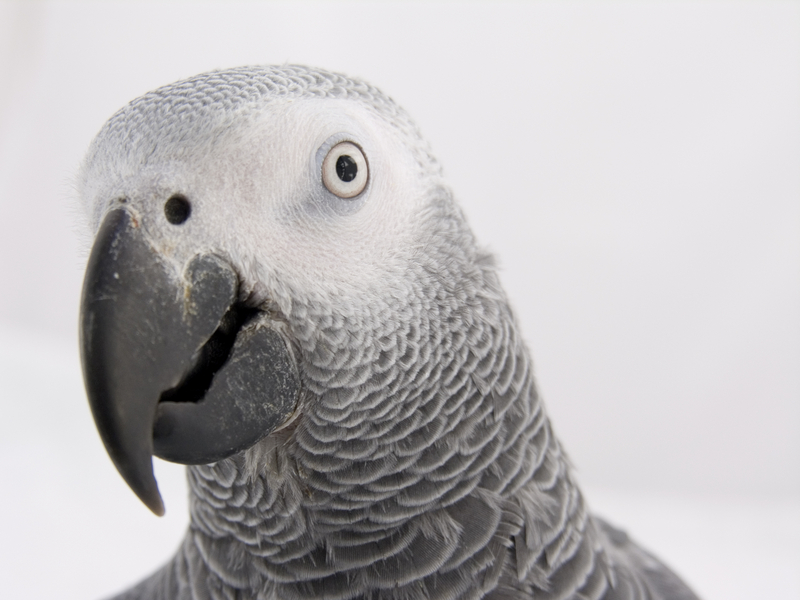 African Grey Parrot Pictures Free