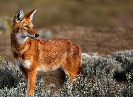 Rarest Dog Ethiopian Wolves Are Genetically Vulnerable