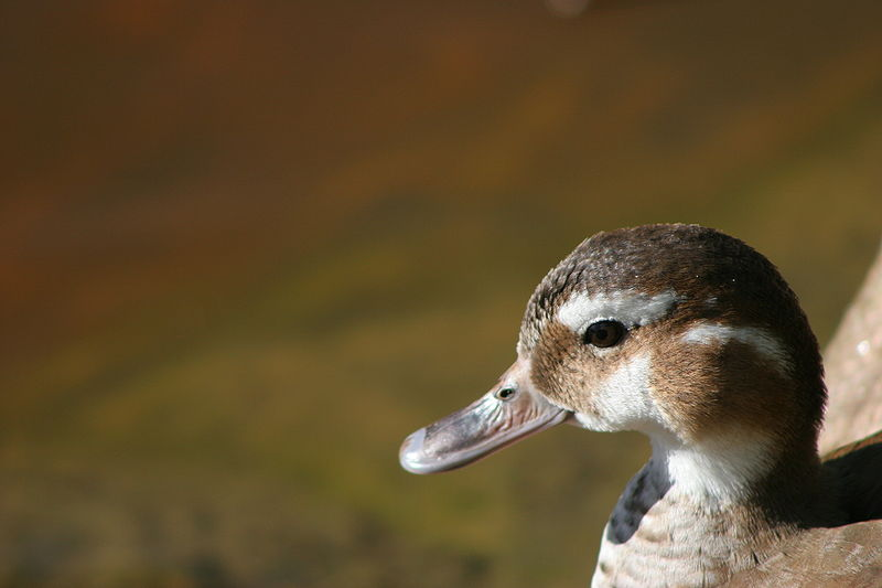Female Ringed Teal